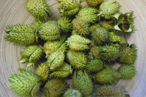 Szárított növény, BELÉNDEK (fehérített) VILÁGOS ZÖLD (35 db / csomag)