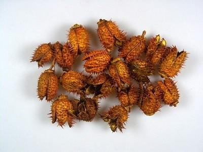 Szárított növény, BELÉNDEK (fehérített) NARANCS (35 db / csomag)